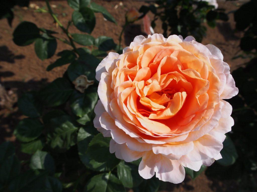 神代植物公園 オレンジの薔薇