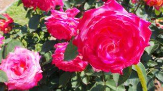 神代植物公園 ピンクの薔薇