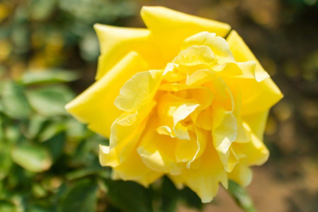 神代植物公園 黄色の薔薇
