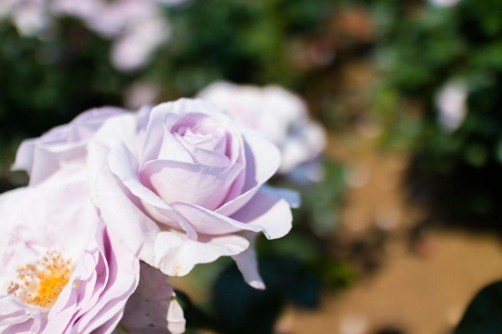 神代植物公園 紫の薔薇