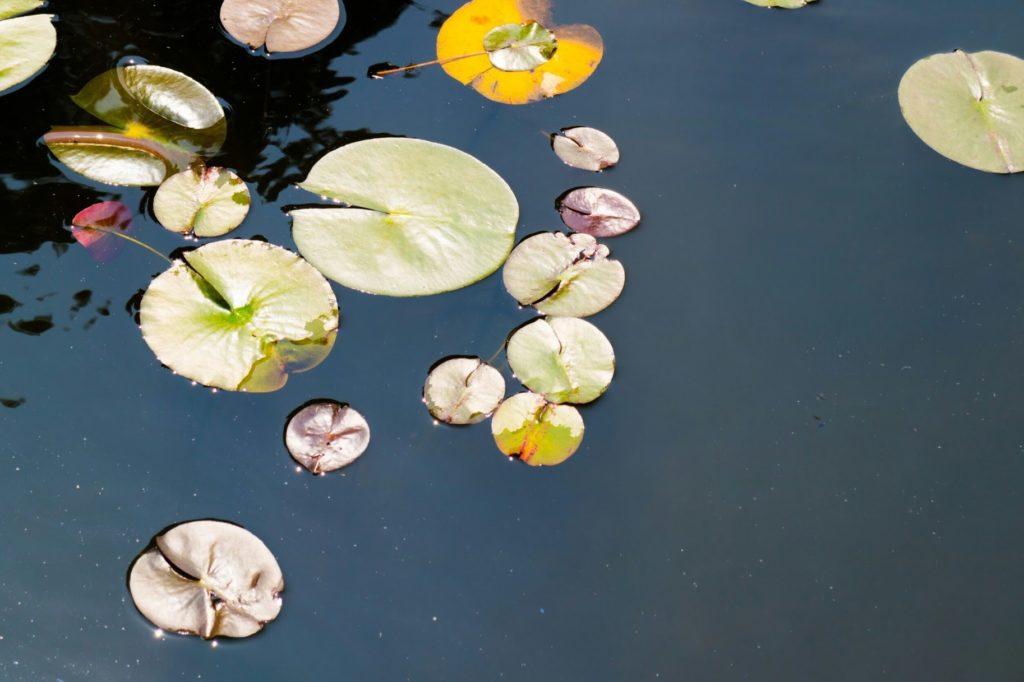 神代植物公園 睡蓮